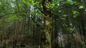 Bosque oscuro escénico almacen de metraje de vídeo