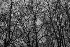 Bosque oscuro grueso, árboles negros Textura del fondo de los troncos de árbol Foto de archivo libre de regalías