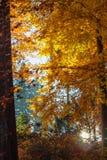 Bosque otoñal con las hojas y los rayos de sol del amarillo Foto de archivo