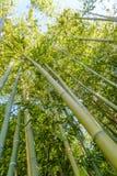 Bosque ou floresta de bambu Fotografia de Stock Royalty Free