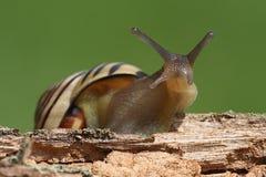 Bosque ou nemoralis Brown-labiados de Cepaea do caracol fotografia de stock royalty free