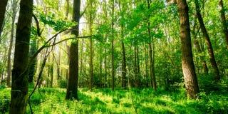 Bosque panorámico fotografía de archivo libre de regalías