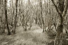 Bosque patagón en tono de la sepia argentina Imagen de archivo
