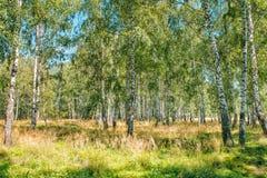 Bosque pequeno do vidoeiro fotos de stock