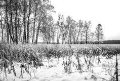 Bosque pequeno do vidoeiro que cresce no banco de um córrego em Rússia imagem de stock