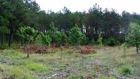 Bosque Pietralata del árbol de pino Imágenes de archivo libres de regalías