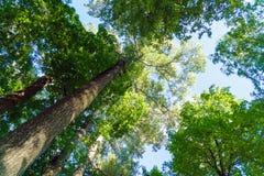 Bosque pintoresco del verano con el altos álamo y abedules Fotografía de archivo libre de regalías