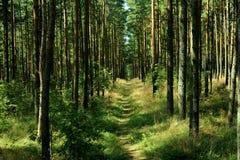 Bosque por el escupitajo de Curonian, Rusia del pino Imagen de archivo