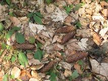 Bosque, primavera temprana, conos de abeto Foto de archivo libre de regalías