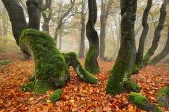 Bosque primitivo de la haya foto de archivo