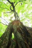 Bosque primitivo del árbol de castaña foto de archivo libre de regalías