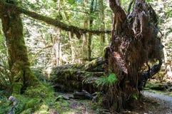 Bosque primitivo en Nueva Zelanda Fotos de archivo