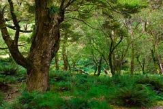 Bosque primitivo en pista del routeburn Imagen de archivo libre de regalías
