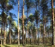 Bosque profundo del verde ruso de la madera de pino Imagen de archivo