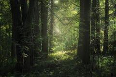 Bosque profundo y luz del sol foto de archivo libre de regalías