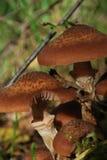 Bosque que recolecta setas de miel Foto de archivo libre de regalías