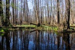 Bosque que refleja en el río, paisaje de la primavera en el río con el bosque Imágenes de archivo libres de regalías