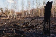 Bosque quemado del abedul Imagen de archivo libre de regalías