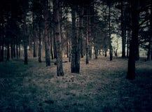 Bosque retro del pino Fotografía de archivo