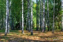 Bosque ruso del abedul en otoño temprano Fotografía de archivo libre de regalías