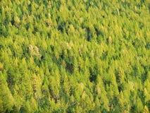 bosque salvaje conífero del taiga en Siberia, montañas de Altai Imagenes de archivo