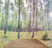 Bosque salvaje con los troncos del abedul y la calzada de madera Imagen de archivo libre de regalías