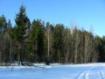 Bosque salvaje de árboles coníferos verdes Fotos de archivo