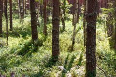 Bosque salvaje de la plantación de piñas con el arándano imagen de archivo libre de regalías