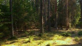 Bosque salvaje del pino con el musgo verde debajo de los árboles almacen de metraje de vídeo