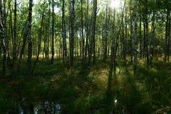 Bosque salvaje hermoso del abedul en la luz del sol del sol de la mañana Fotos de archivo
