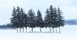 bosque sempre-verde de 4K UltraHD em uma paisagem do inverno video estoque