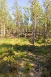 Bosque septentrional con un pantano Foto de archivo libre de regalías