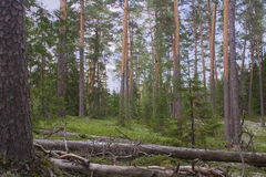 Bosque septentrional prístino del pino escocés Fotos de archivo libres de regalías