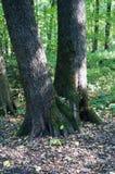 Bosque, septiembre, dos árboles imagen de archivo