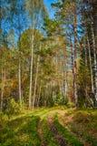 Bosque siberiano en otoño, Siberia, Rusia Fotografía de archivo libre de regalías