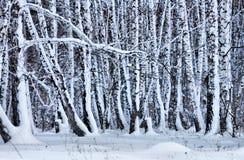 Bosque sitiado por la nieve del abedul en invierno Foto de archivo