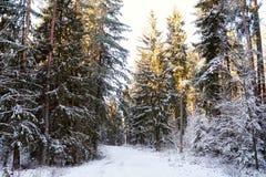 Bosque soleado brillante del pino cubierto con nieve en invierno Imagen de archivo libre de regalías