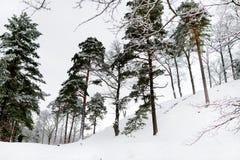 Bosque soleado brillante del pino cubierto con nieve en invierno Fotos de archivo