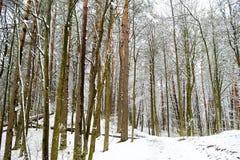 Bosque soleado brillante del pino cubierto con nieve en invierno Fotografía de archivo libre de regalías