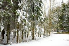Bosque soleado brillante del pino cubierto con nieve en invierno Foto de archivo