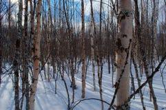 Bosque soleado del árbol de abedul en tiempo de primavera nevoso Fotografía de archivo libre de regalías