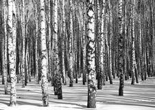 Bosque soleado del abedul blanco y negro Foto de archivo