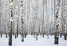 Bosque soleado del abedul del invierno Imagen de archivo libre de regalías