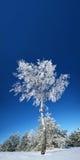 Bosque solo del abedul en invierno. Fotos de archivo libres de regalías