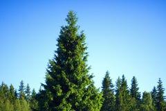 Bosque Spruce Foto de archivo libre de regalías