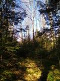 Bosque spruce de la primavera en las montañas cárpatas Fotografía de archivo libre de regalías