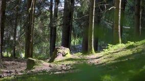 Bosque Spruce del ?rbol almacen de metraje de vídeo