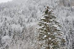 Bosque Spruce en invierno Imágenes de archivo libres de regalías