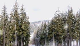 Bosque Spruce en las montañas cárpatas Vacaciones de invierno en las montañas Fotos de archivo