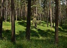 Bosque Spruce en verano Imagen de archivo libre de regalías